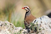 Red-legged partridge, Alectoris rufa  Cabo de Gata-Nijar biosphere reserve, Andalusia, Spain