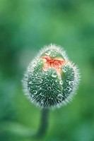 bud, Bernhard, blossom, blooms, bloom, abloom