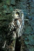 federn, animals, athene, aves