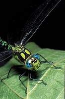 Insect, CLOSE, hexapoda, dragonfly, close-up, insecta, animals (thumbnail)