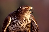 Federn, abenddaemmerung, accipiter, animals, aves (thumbnail)