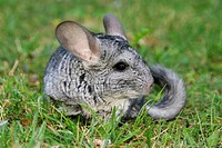 pet, alfred, animals, chinchilla, chinchillidae, day