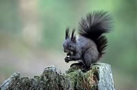 squirrel, color variation, eat, eating, kobel, ball nest, gnaw