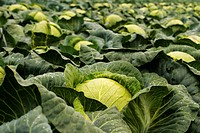 close_up, alfred, CLOSE, cabbage, brassica, acre