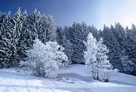 frosty, calf, frost, forest, cold, landscape, austria