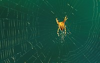 cobweb, autumn, calf, burgenland, back light, detail, austria