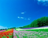Flower field and blue sky (thumbnail)