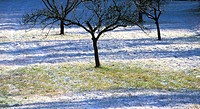 cold, austria, calf, burgenland, blanket of snow, apple tree