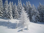 Jane, christmas tree, conifers, cold, clearing, Austria (thumbnail)