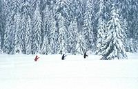 Bernhard, conifer, cold, adults (thumbnail)