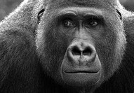 dieter, ape, contemplative, close_up, apes, animal