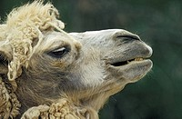 camel hair, animal head, camel, calf, Bactrian camel, enclosure, animal