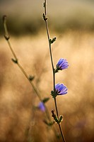 Close-up of chicory wildflower in field in Tuscany, Italy (thumbnail)