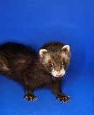Portrait of brown ferret against blue background
