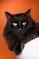 Black fluffy cat