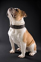 Sitting English Bulldog wearing spiked collar and looking upward