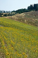 Field of sunflowers in Tuscan countryside in Italy