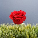 Single red rose growing out of artificial green grass