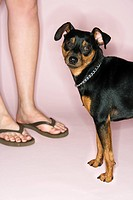 Caucasian female legs with Miniature Pinscher against pink background