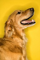 Golden Retriever dog profile