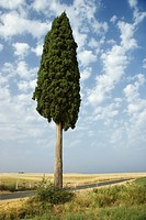 One cypress tree in field in Tuscany, Italy