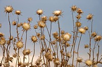 Dried thistle plants against sky in Tuscany, Italy