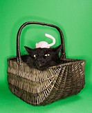 Black fluffy cat in basket with toy mouse on head