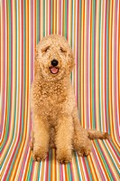 Goldendoodle dog sitting looking at viewer on stripe background