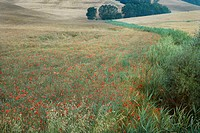 Field of poppies growing in countryside in Tuscany, Italy