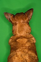 Mixed breed brown dog rear view