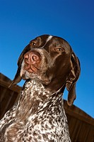 Portrait of German Shorthaired Pointer squinting outdoors