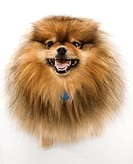 Pomeranian dog full_length portrait