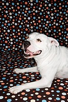 White Pit Bull dog against polka dot background