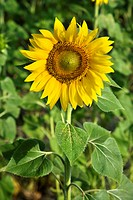 One sunflower growing in a field in Tuscany, Italy