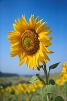 One large sunflower against blue sky amid field of sunflowers