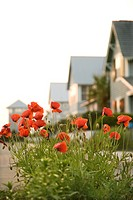 Red poppy flowers in front of houses