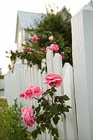 Pink roses growing over white picket fence