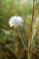 Dandelion clock growing in Tuscany, Italy