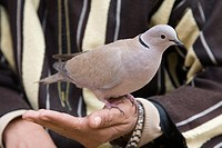 africa, morocco, marrakech, man with dove