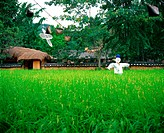 farm village, field, country, scarecrow, paddy, plant