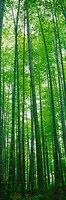 panoramic view, landscape, bamboo tree, forest, scenery, panorama, nature