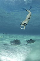 Snorkeller swimming down to Southern Stingrays Dasyatis Americana Stingray City Sandbar (thumbnail)