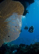 Divers observing a Giant sea fan Annella mollis. Shark Observatory, Ras Mohamed National Park, Sharm El Sheikh, South Sinai, Red Sea. Egypt