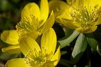gemeiner, hahnenfussgewaechse, aroma, berne, blattform, blooms, blumenstaengel