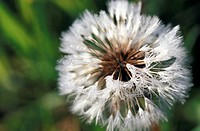 faded, blowball, dandelion, calf, burgenland, flower, austria