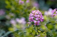 Outdoors, flora, belvedere, flowers, plants, Vienna, lilac (thumbnail)