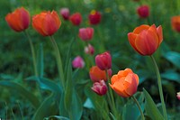 flora, Fruehlingsblumen, Spring, tulips, Tulpenbeet, spring, tulip