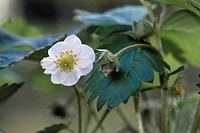 blossom, outdoors, flora, balcony, balcony plant, bloom, strawberry