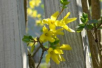 berne, blooms, buds, burgdorf, farina, fence