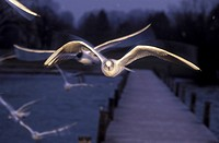 fly, aves, bridge, boat bridge, bird, Jan, animals